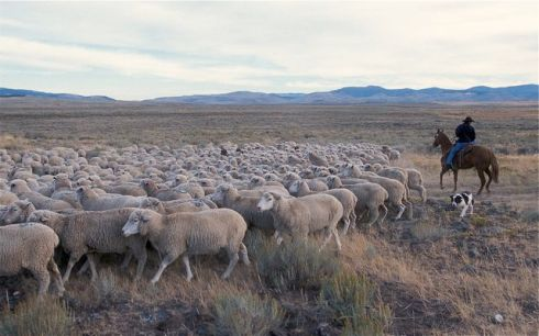 Huge range band flocks are managed by shepherds and sheepdogs, who often live with the flock as it moves. Photo by Stephen Ausmus. Courtesy USDA.